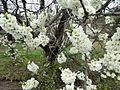 木に咲く花 - panoramio.jpg