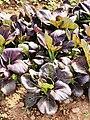 油菜「紫羅蘭」 20191121181353 01.jpg