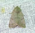灰褐安尼夜蛾 Anorthoa munda plumbeata Hreblay & Ronkay, 1998 (15260597170).jpg
