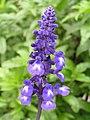 粉萼鼠尾草(藍絲線) Salvia farinacea -香港公園 Hong Kong Park- (9200928640).jpg