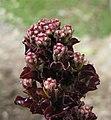 羅馬生菜(長葉萵苣) Lactuca sativa v longifolia -香港嘉道理農場 Kadoorie Farm, Hong Kong- (9216097384).jpg