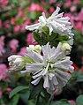 肥皂草 Saponaria officinalis -香港禮賓府 Hong Kong Government House- (9240226952).jpg