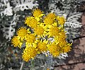 芙蓉菊 Crossostephium chinense -青島世界園藝博覽會 Qingdao International Horticultural Expo, China- (14669114402).jpg
