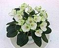 非洲紫羅蘭 Saintpaulia Mac's Elegant Emerald -香港花展 Hong Kong Flower Show- (33775985666).jpg
