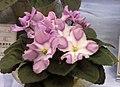 非洲紫羅蘭 Saintpaulia Silk 'n' Lace -香港花展 Hong Kong Flower Show- (13220313833).jpg
