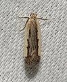 - 2301 – Dichomeris serrativittella – Dichomeris Species Group (44740903301).jpg