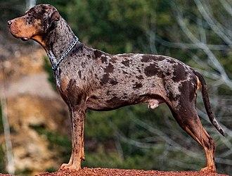 Louisiana Catahoula Leopard dog - An adult merle Louisiana Catahoula Leopard dog.