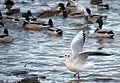 02014.12. Die Vögel im Winter am San.JPG