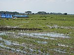 03306jfBirds Sanctuary Ducks Wetland Marshes Rice Fields Candaba Pampangafvf 06.JPG