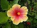 03601jfHibiscus rosa sinensis Philippinesfvf 01.JPG