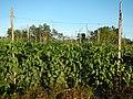 0574jfLandscapes Mabalas Diliman Salapungan Paddy fields San Rafael Bulacan Roadsfvf 19.JPG