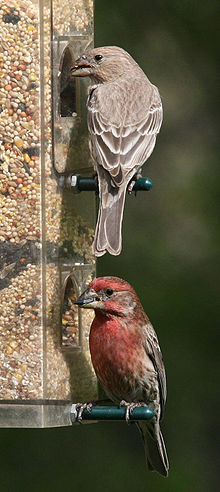 07May06-HouseFinches.jpg