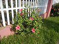 0931jfHibiscus rosa sinensis Linn White Pinkfvf 01.jpg