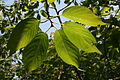 0 Prunus serrulata - Kalmthout (3).JPG