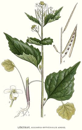 190 Alliaria officinalis.jpg
