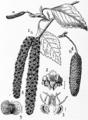 1911 Britannica-Birch-Betula alba.png