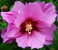 2007-07-09Hibiscus syriacus14.jpg