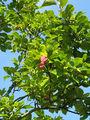 2007-09-16Magnolia ×soulangeana01.jpg