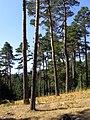 2011-09-25 Pinos muy altos - panoramio.jpg