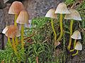 2011-12-03 Mycena epipterygia (Scop.) Gray 187424.jpg
