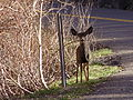 2012-10-20 P1010399 Mule deer along Nevada State Route 231.JPG