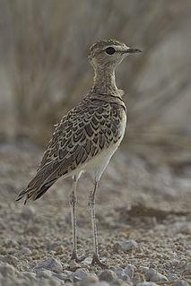 Double-banded courser Species of bird