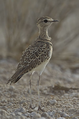 Double-banded courser - In Etosha National Park, Namibia