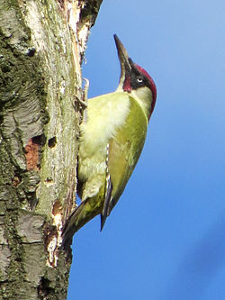 2014-04-14 Picus viridis, Gosforth Park 1.jpg