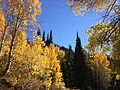 2014-10-04 14 38 52 View of Subalpine Firs and Aspens during autumn leaf coloration along Charleston-Jarbidge Road (Elko County Route 748) in Coon Creek Valley about 13.0 miles north of Charleston, Nevada.JPG