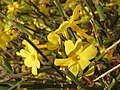 20141228Jasminum nudiflorum.jpg