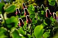 2015-04-27 Trifolium incarnatum(Strawberry candle) ベニバナツメクサ DSCF0062.jpg