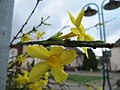 20151126Jasminum nudiflorum x intermedia1.jpg