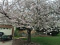 2017-04-03 16 08 33 White Flowering Cherry flowers along Ladybank Lane near Ben Nevis Court in the Chantilly Highlands section of Oak Hill, Fairfax County, Virginia.jpg