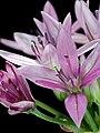 2017-05-06-13.55.27 ZS PMax Allium unifolium-1—DxO (33652985634).jpg
