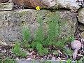 2018-06-18 (117) Coreopsis verticillata (whorled tickseed) at Bichlhäusl in Frankenfels, Austria.jpg