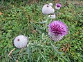 2018-08-11 (126) Silybum marianum (blessed milkthistle) at Tirolerkogel, Annaberg, Austria.jpg