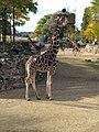 20181007 Artis Zoo - Giraffa camelopardalis.jpg