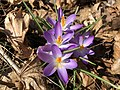 2019-03-11 15 18 30 Naturalized purple crocuses in a lawn along Terrace Boulevard near Dunmore Avenue in the Parkway Village section of Ewing, Mercer County, New Jersey.jpg
