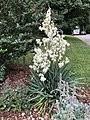 2019-06-12 07 56 21 A Yucca flowering along Indale Court in the Franklin Farm section of Oak Hill, Fairfax County, Virginia.jpg