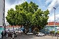 2020-06-28-NDI 401.04-Platane Stammstrasse-9232.jpg