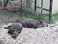 20200827 Tapir, Vivarium Darmstadt.jpg
