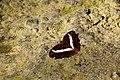 347紫單帶蛺蝶10(張雅惠攝) (12944580625).jpg