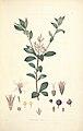 3 Raphiolepis ruba - John Lindley - Collectanea botanica (1821).jpg