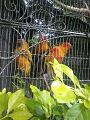3 beautiful peagons in cage.jpg