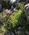 8726-Salix herbacea-Úpská jáma-07.2018.jpg