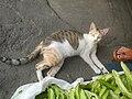 9935Black tortoiseshell and white cat portraits in the Philippines 04.jpg