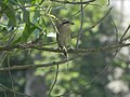 A Brown Shrike waiting for prey.jpg