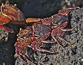 A Cast of Juvenile Sally Lightfoot Crabs (4109267508).jpg