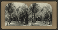 A cocoanut (coconut) grove, Honolulu, from Robert N. Dennis collection of stereoscopic views.png