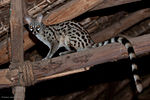 A female common genet in the dining room, Satao Camp.jpg